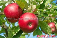 H_best quality new crop 2015 royal gala cheapest price red apple