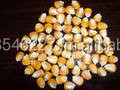 PURE and CLEAN YELLOW DRIED CORN