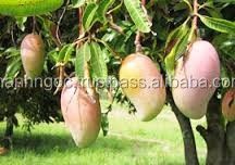SUPPLY FRESH MANGOES FRUIT FROM VIETNAM WITH BEST PRICE AND HIGHT QUALITY
