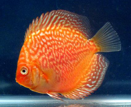 Poissons discus pour vente autres produits d 39 animal de for Discus fish for sale cheap