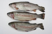 Frozen trout fish competitive price