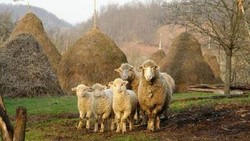 Sheep, Lamb, Goat, Beef meat or alive animals