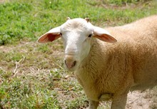Live Awassi Sheep and Lambs for sale