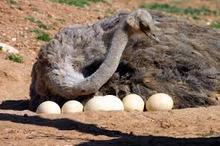 Ostrich Eggs/ Chicks & Mature Ostrich Birds