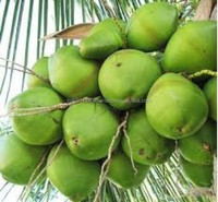 Organic Young Coconut/Tender Coconut from Kerala