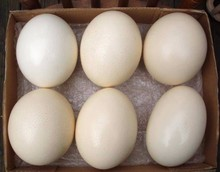 Fertile Ostrich Eggs and Ostrich feathers for Sale