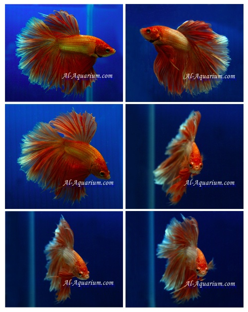 Halfmoon betta poissons ferme pour vente et l 39 exportation for Grossiste carpe koi