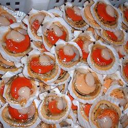 New season frozen half shell scallop