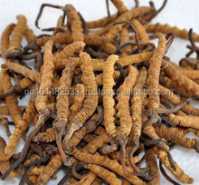 Yarsagumba / Cordyceps Sinensis