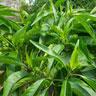 Adathoda vasica Extract Vasicine1.0%,Total Alkaloids 2.0%