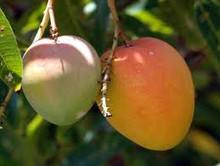 Bangladeshi biggest mango supplier , cheap wholesale mangoes , Sweet fresh mangoes at reasonable price