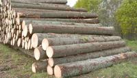 Fresh Cut Logs/European SPRUCE LOGS AB grade Round Logs