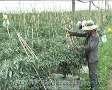 Fresh red chilli in Vietnam