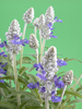 Indian Young Living Clary Sage Oil