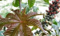 castor seed oil