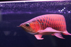 Top Quality Arowana Fishes