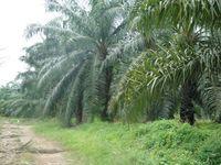 Oil Palm Land at Sarawak, Malaysia