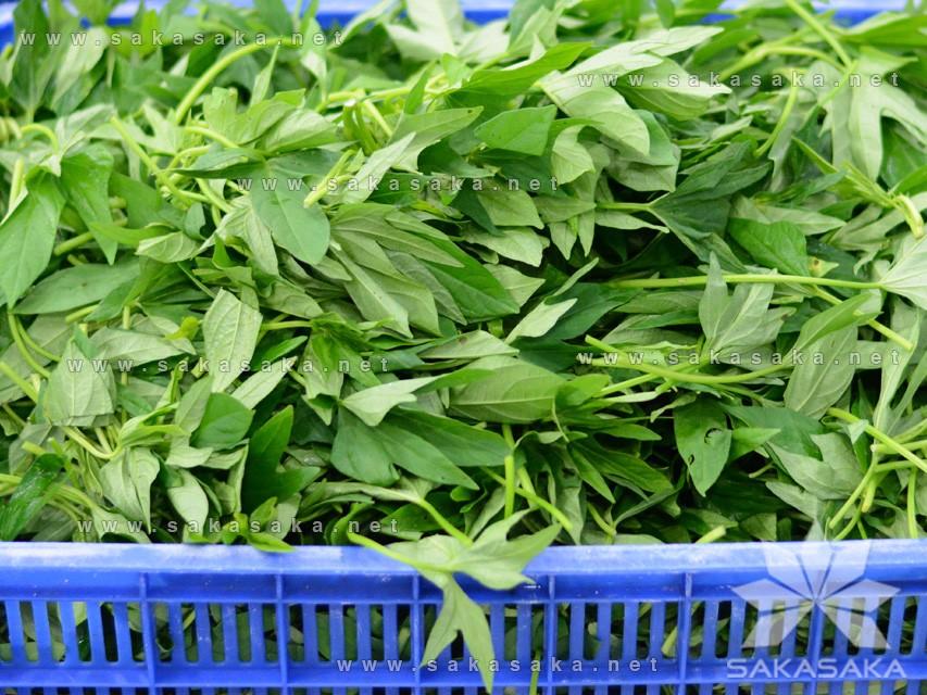sweet-potato-leaves-07